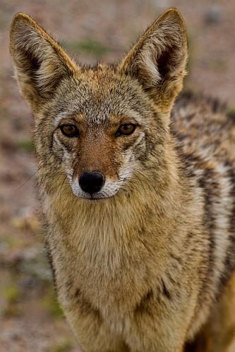 coyote-vertical